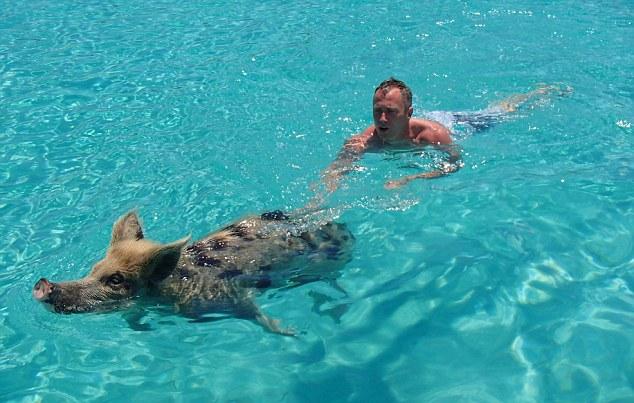 Vepar pliva u bazenu
